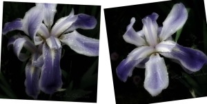 2 Images, Orchid Iris              Ribbet collage