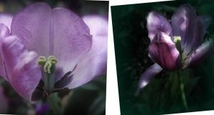 Partial Purple Tulip X2           Ribbet collage