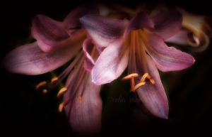 Surprise Lily Duo, Final Crop, Watermark                  Birds, Flowers, Bees  AUG 27 2015 033