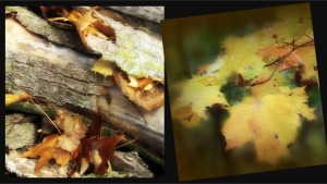 2 Images, Maple Leaves Ribbet collage
