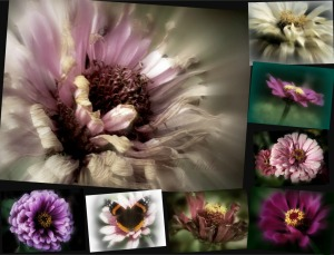 8 Images, Zinnias, K12               Ribbet collage