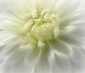 White Dahlia in Sunlight, Updated Version, Airbrush, FB&W74, Watermark       DSCF1845 (3)