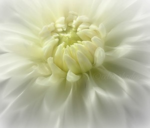 White Dahlia in Sunlight, Updated Version, Airbrush, FB&W74, Watermark       DSCF1845 (3)
