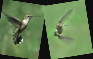 2 Images, Hummingbird, Watermark                Ribbet collage